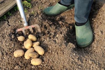 Zum Ernten von Kartoffeln eignet sich eine Grabegabel.