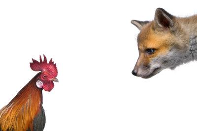 Schluss mit der Hühner-Klauerei! So gelingt Ihnen die Fuchsabwehr.