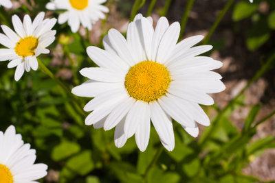 Bei regelmäßiger Pflege bedankt sich Ihr Margeritenbusch mit vielen Blüten