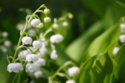 Eine der anspruchslosesten Frühlingsblumen ist das Maiglöckchen.