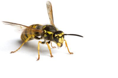 Lassen sich Wespen tatsächlich durch Kupfermünzen vertreiben?