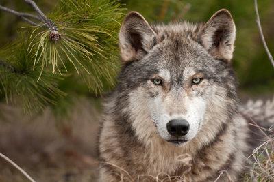 Wölfe und andere Tiere sind ein fester Bestandteil von Märchen