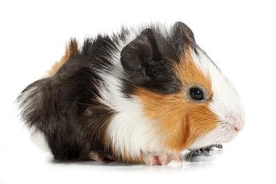 Ein Meerschweinchenkäfig muss artgerecht sein - damit das Meerschwein sich wohlfühlt.