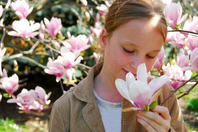 Der Magnolienbaum entfaltet im Frühjahr seine Blütenpracht.