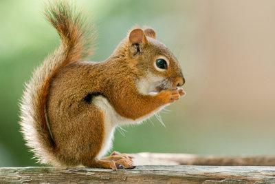 Eichhörnchen kann man mit Nüssen, Beeren und Samen füttern.