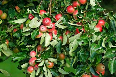 Schädlinge am Apfelbaum sollten Sie rechtzeitig bekämpfen.