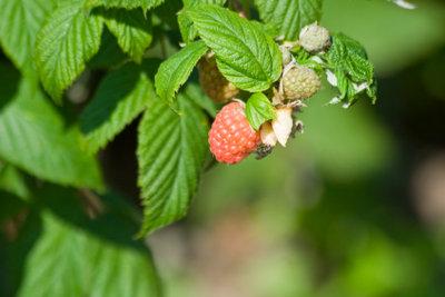 Fruchtfliegen lassen sich mit einfachen Hausmitteln vertreiben.