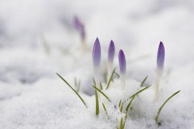Bringen Sie Ihre Callas-Blume gut durch den Winter.
