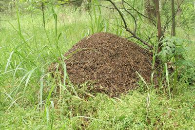 Beachten Sie, dass manche Ameisenhaufen in Deutschland unter Naturschutz stehen.