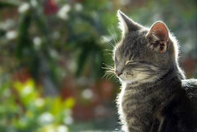 Freigänger leiden seltener unter Katzenmilben als Wohnungskatzen.