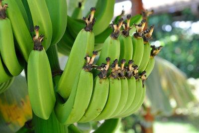 Bei einem Bananenbaum sind Standort und Pflege wichtig