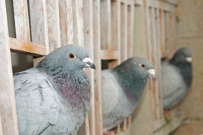 Auch viele Züchter lassen Ihre Tauben frei fliegen und tragen so zur Taubenplage bei