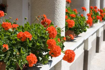 Geranien sind eine ideale Balkonpflanze.