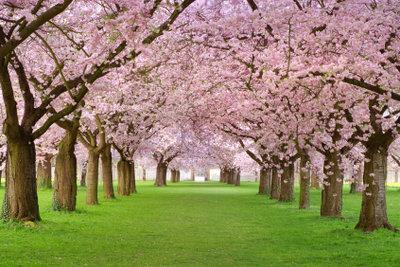 Die Apfelblüte in ihrer ganzen Pracht und Schönheit