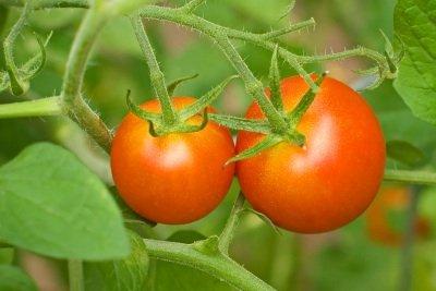 Bei guter Pflege können Sie leckere Tomaten ernten.