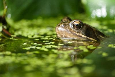 Er schätzt einen Teich mit Wasserlinsen.