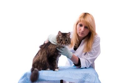 Fieber bei Katzen sollte vom Tierarzt behandelt werden.