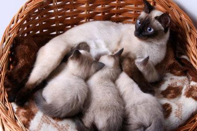 Nach der Katzengeburt liegt die Mutter mit den Kitten im Körbchen.