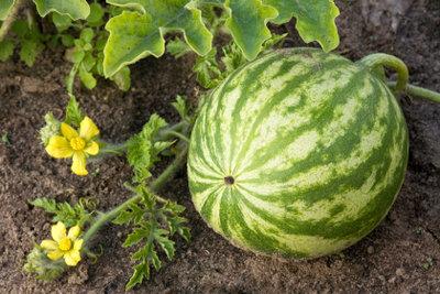 Wassermelonen können Sie auch im eigenen Garten anbauen, wenn der Standort stimmt.