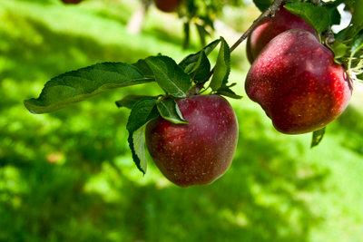 Apfelbaumschädlinge können gut mit Hausmitteln bekämpft werden.