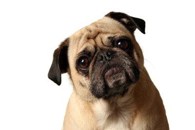 Ein Mops aus dem Tierheim ist ein treuer, verschmuster Familienhund.