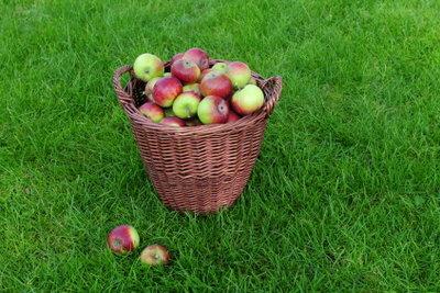 Bei Apfelfäule bleibt eine solche Ernte leider nur Wunschdenken!