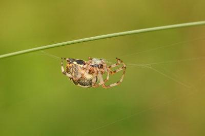 Es gibt unzählige Spinnenarten in Deutschland.
