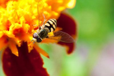Auch wenn Sie einer Wespe ähnelt: Schwebfliegen sind völlig harmlos.