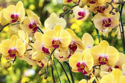 Wenn Sie Orchideen richtig wässern, werden Sie mit einer prächtigen Blüte belohnt.