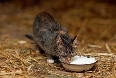 Junge Katzen dürfen Milch trinken.