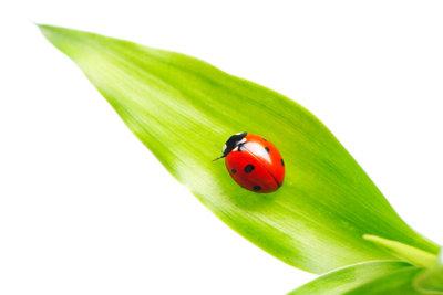 Es gibt diverse Wege, eine Marienkäfer zu bekämpfen.