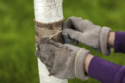 Schützen Sie Ihre Obstbäume mit Leimringen vor Insekten.