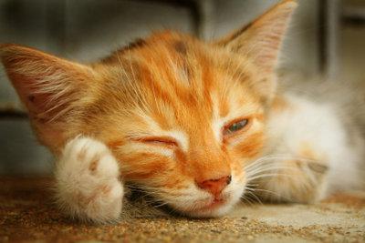 Die Rolligkeit ist anstrengend für Katze und Mensch.