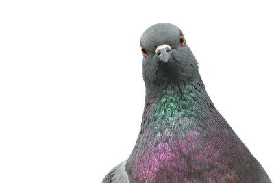 Tauben verjagen - dann allerdings tiergerecht.