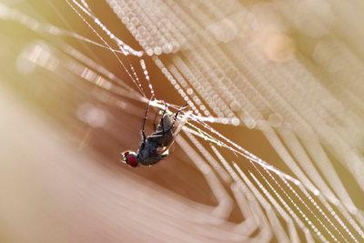 Spinnennetze sind eine natürliche Fliegenfalle, die Sie nicht selber bauen müssen.