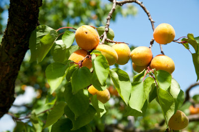 Ein eigener Aprikosenbaum - mit Glück können Sie ihn selbst züchten.