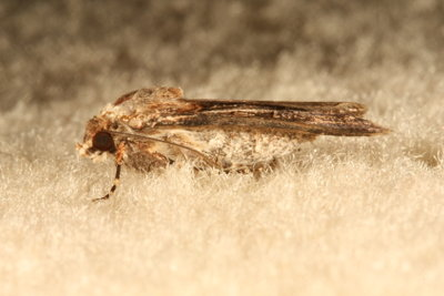 Die Kleidermotte ist ein bekannter Schädling von Textilstoffen.