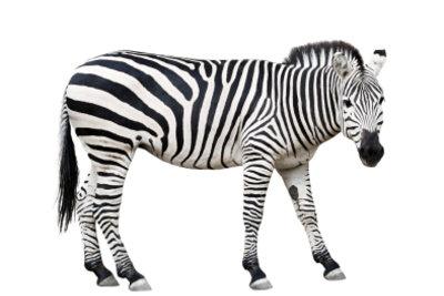 Mit diesem auffälligen Karneval- Kostüm werden Sie zum Zebra.