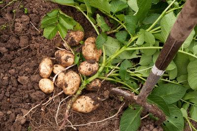 Saatkartoffeln aus dem eigenen Garten sind immer die besten Kartoffeln.