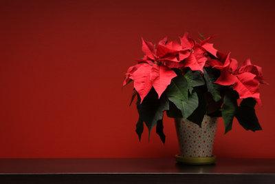 Der Weihnachtsstern braucht Liebe und Pflege.