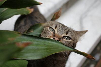 Mit ein paar Maßnahmen können Sie Katzen von Ihren Zimmerpflanzen fernhalten.