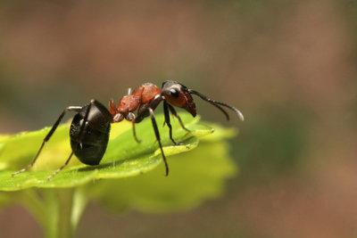 Ameisen kann man mit einfachen Mitteln bekämpfen.