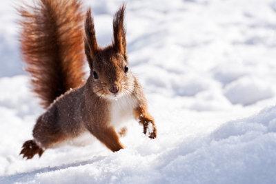 Werden Sie zum Nagetier - mit einem Eichhörnchen-Kostüm.