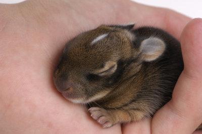 Kümmert sich das Muttertier nicht um die Jungen, müssen Sie die Kaninchen mit der Flasche aufziehen.
