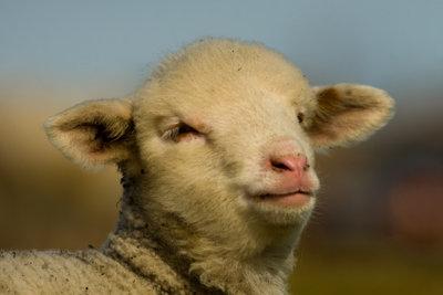 """Zeigen Sie, wie """"Schaf"""" Sie sind."""