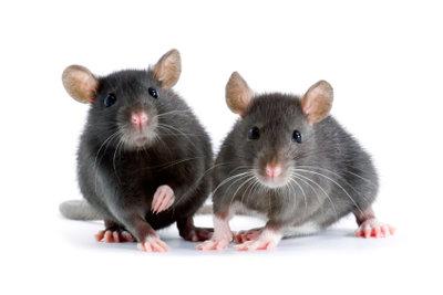 So bauen Sie selbst einen Käfig für Ihre Ratten.