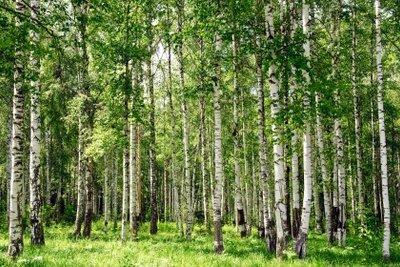 Birkenblätter werden für Tee gegen Gicht verwendet.
