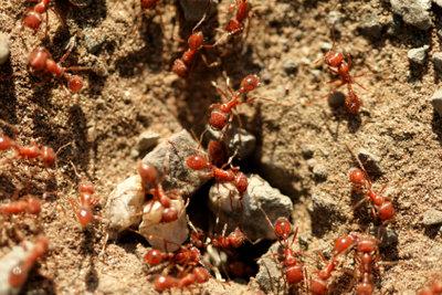 Wenn eine Ameisenplage Ihren Rasen zerstört, können Sie dagegen vorgehen.
