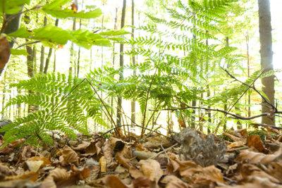 In Nadelwäldern können Sie die Krause Glucke im August sammeln.