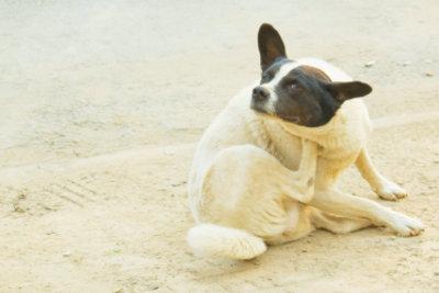 Flohfreie Hunde - ein Flohmittel macht's möglich.